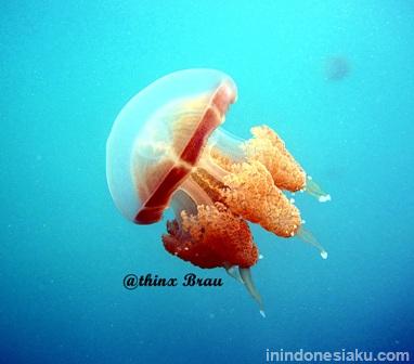 jellyfish kakaban island 2
