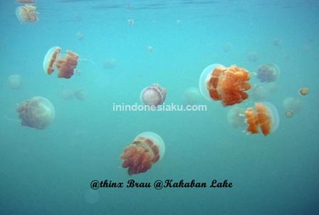 jellyfish kakaban island 3