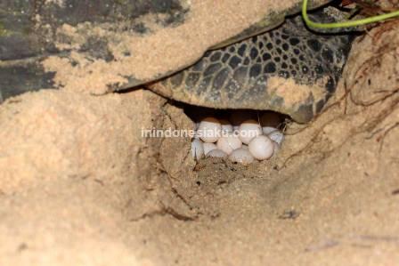 Telur Penyu Pulau Sangalaki Derawan 2
