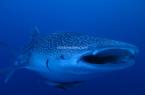 Derawan Whale Shark 11