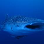 Wisata Derawan, Bermain dengan si Ganteng Whale Shark