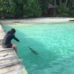 Wisata Raja Ampat, Berenang bareng Hiu di POS CI/pos si ai, Pulau Waigeo