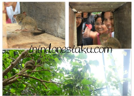 Tarsius Tongkoko Manado 2