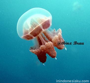 jellyfish kakaban island 1